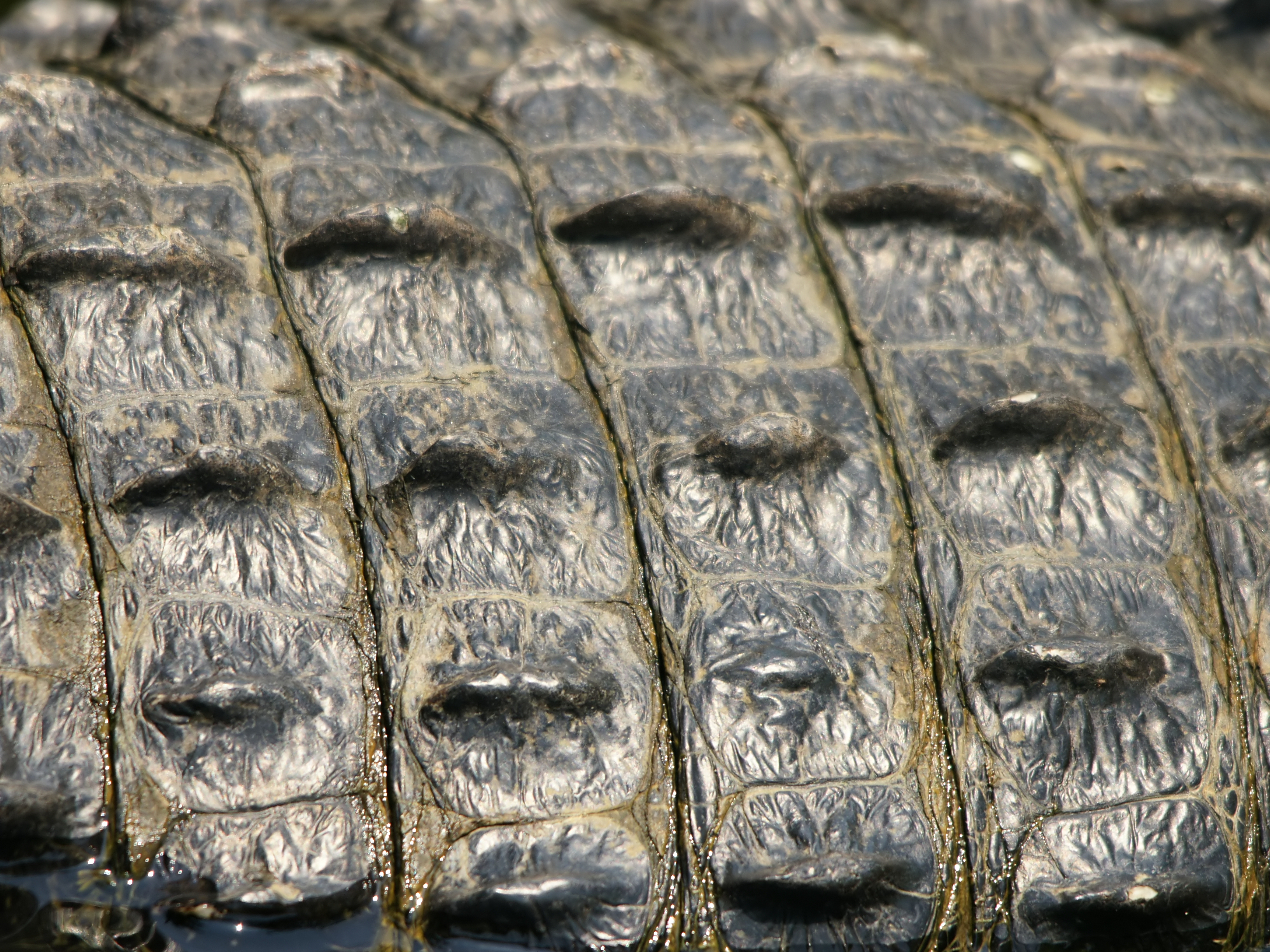 Alligator_mississipiensis_(skin).jpg