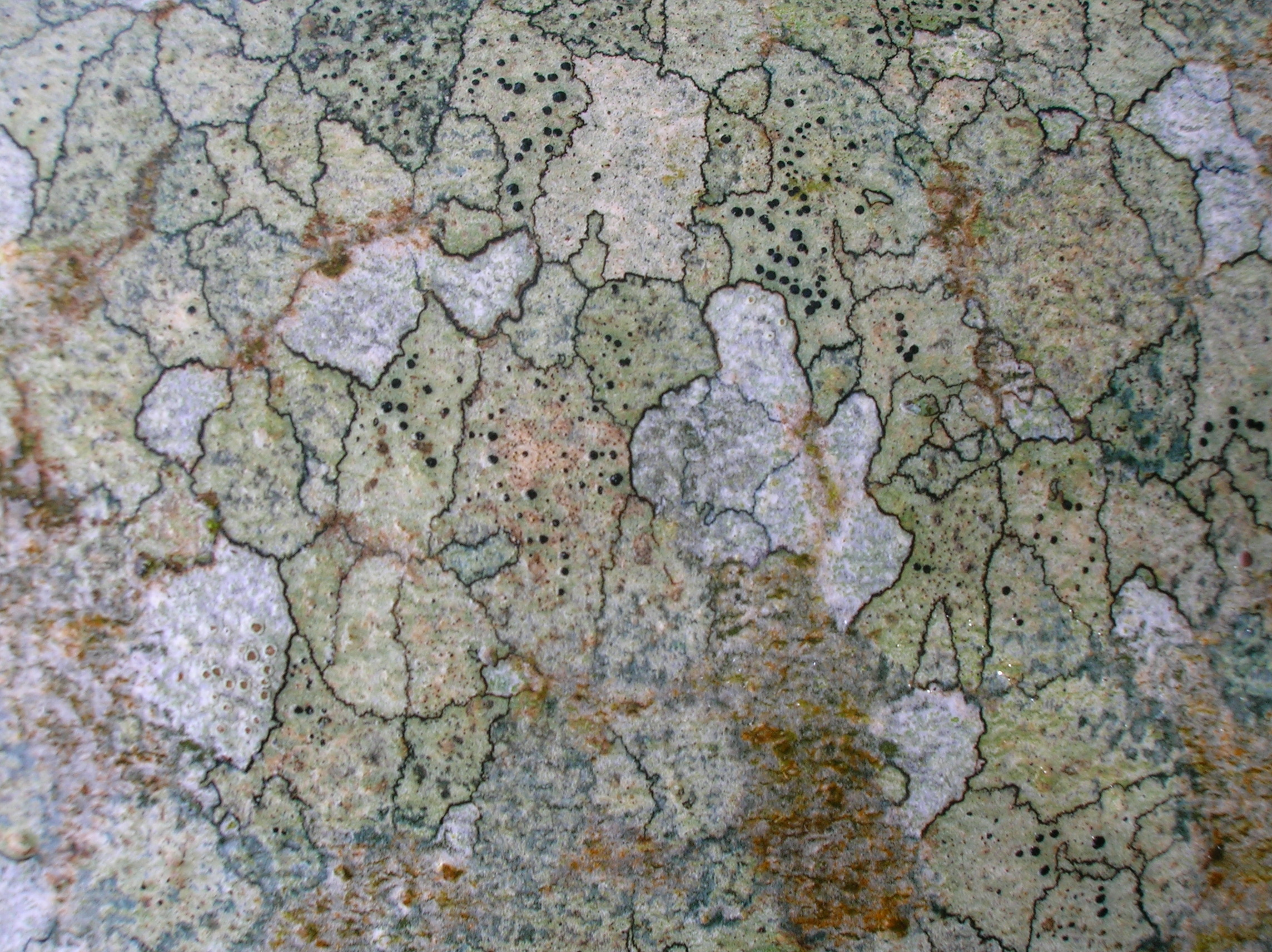 Lichen_patterns_on_an_Ash_tree